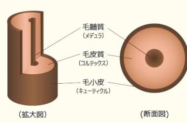 髪の毛(毛幹部)の構造