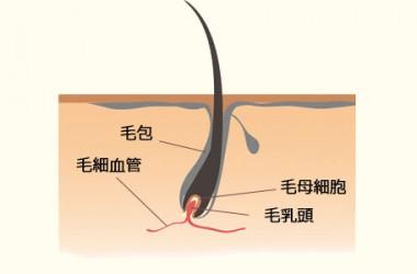 毛根部の構造
