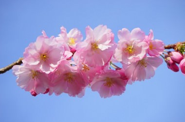 桜エキスが配合されているシャンプーで保湿ケアする方法とは?